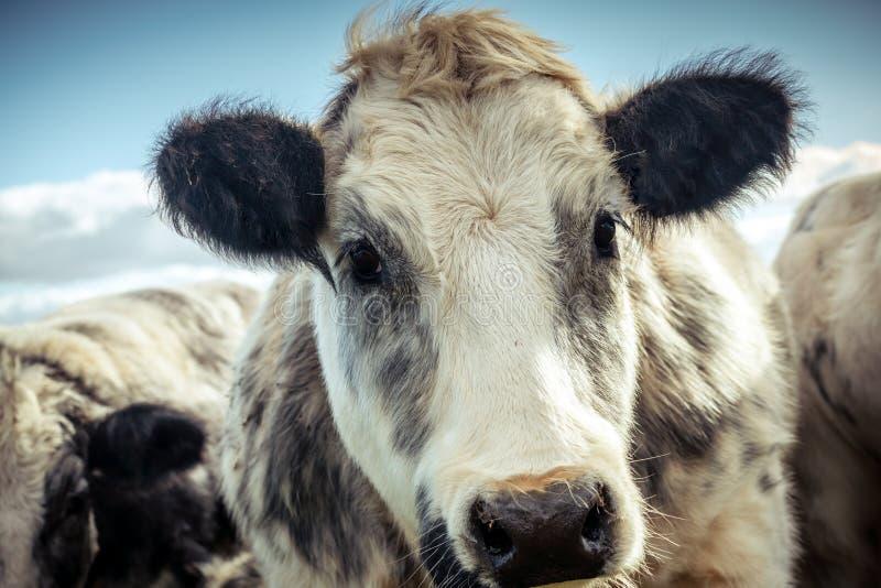 Vache hirsute à l'air doux regardant un petit seul image stock