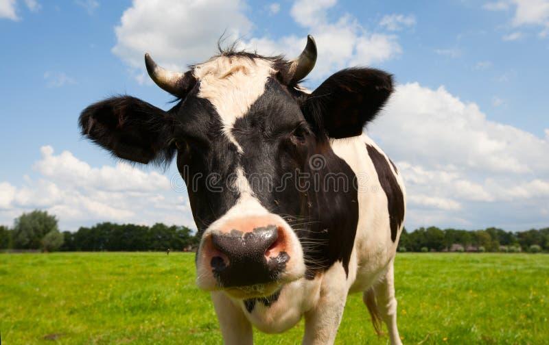 Vache hollandaise photographie stock libre de droits