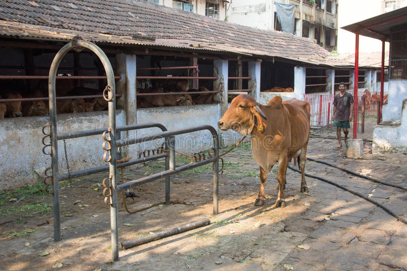 Vache indienne dans Mumbai photo libre de droits