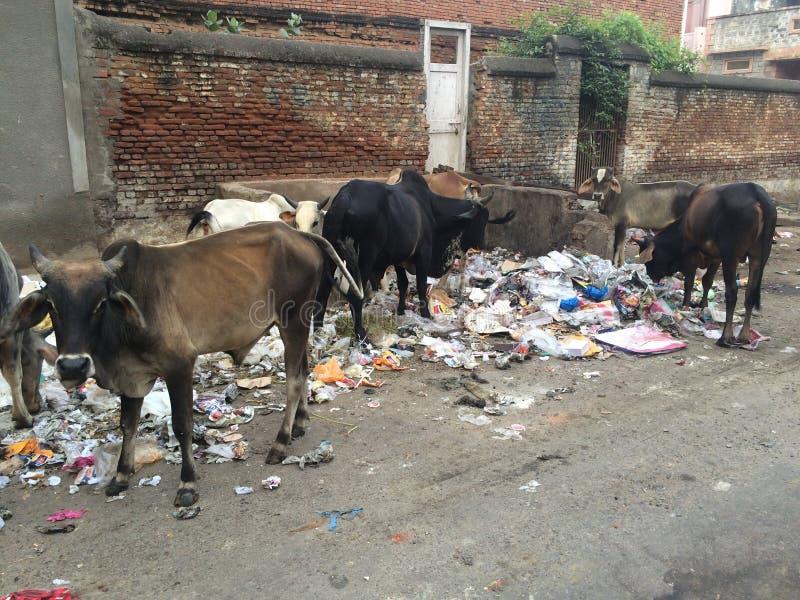Vache indienne mangeant le plastique sale dans la rue images stock