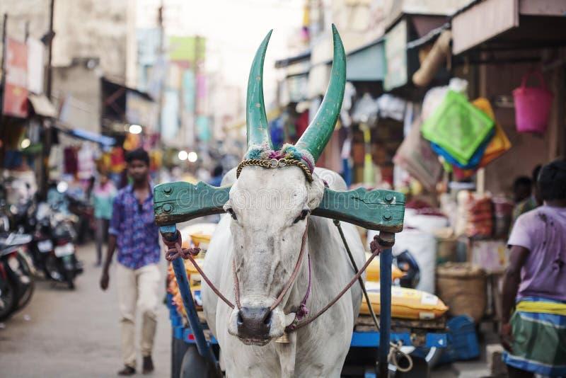 Vache indienne travaillant au marché en plein air public photographie stock libre de droits