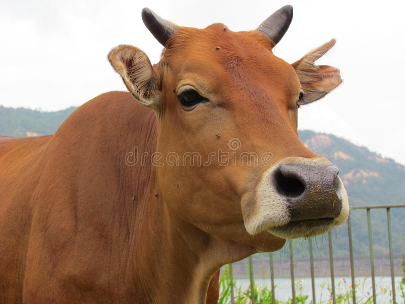 Vache jaune en parc de pays photo stock