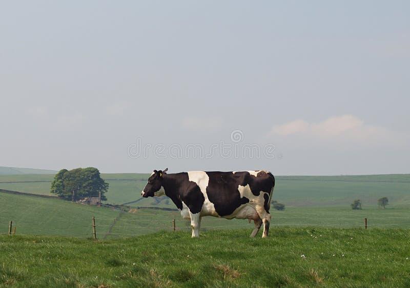 Vache laitière du Holstein dans le pré de montagne photographie stock libre de droits