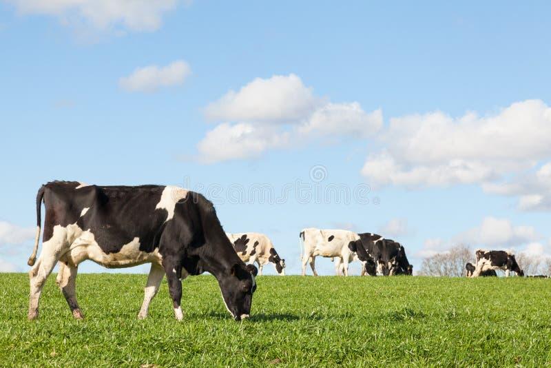 Vache laitière noire et blanche du Holstein frôlant dans un pâturage vert o photo stock