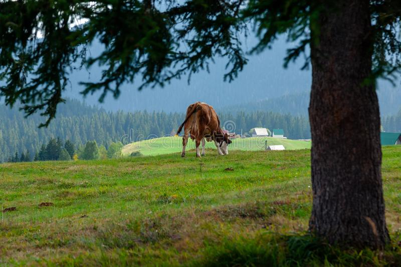 Vache Le Monténégro, stationnement national de Durmitor photo libre de droits