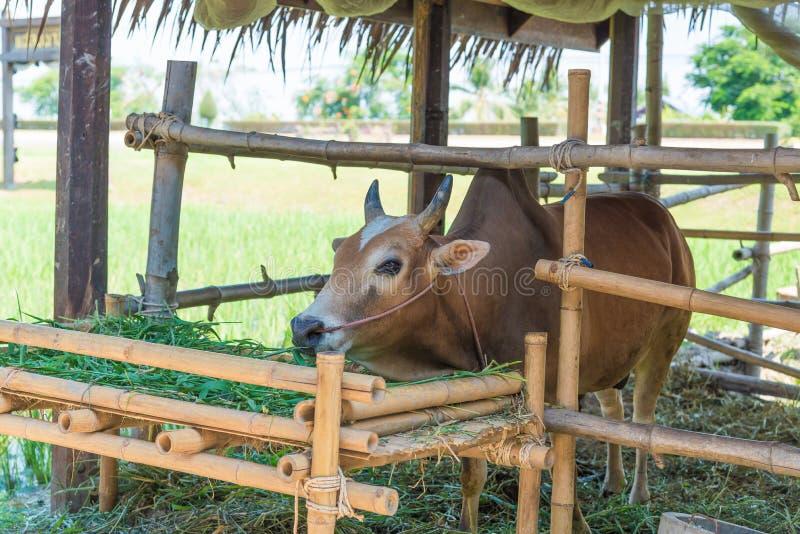 Vache mangeant l'herbe dans la ferme image stock