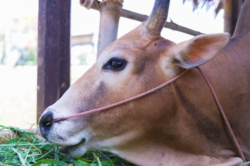 Vache mangeant l'herbe dans la ferme photo libre de droits