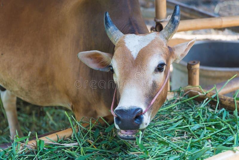 Vache mangeant l'herbe dans la ferme photos libres de droits