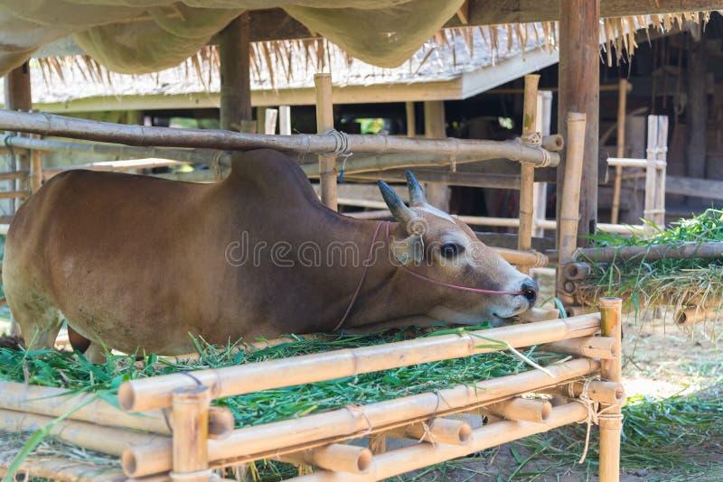 Vache mangeant l'herbe dans la ferme photos stock