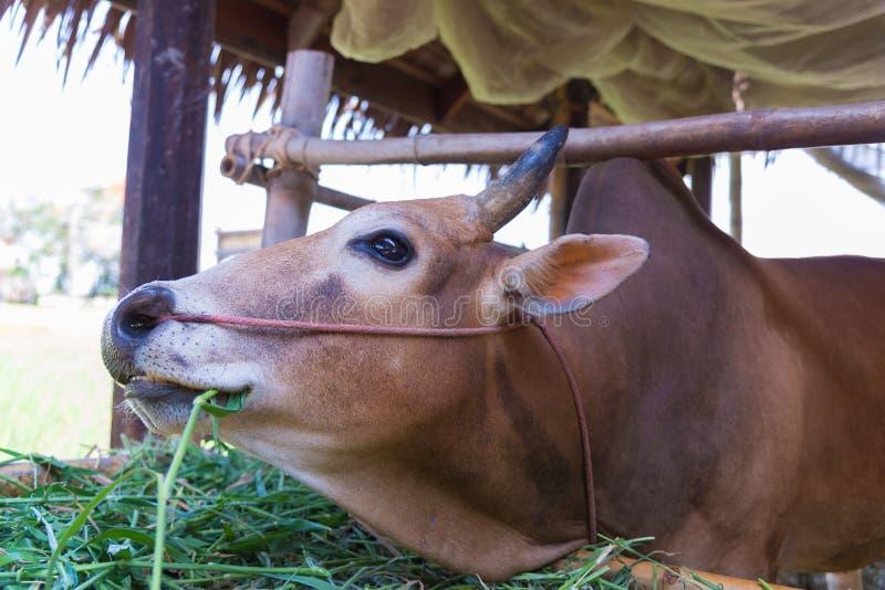 Vache mangeant l'herbe dans la ferme image libre de droits