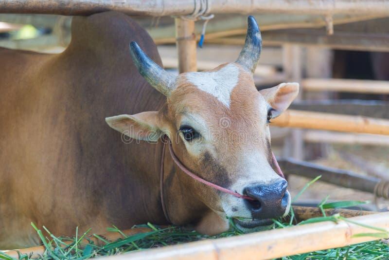 Vache mangeant l'herbe dans la ferme photo stock