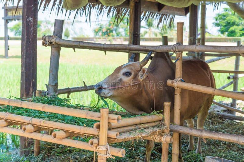 Vache mangeant l'herbe dans la ferme images stock