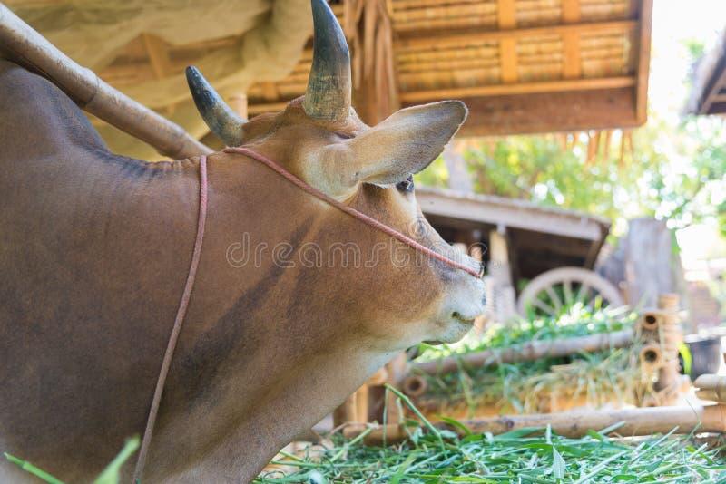 Vache mangeant l'herbe dans la ferme photographie stock libre de droits