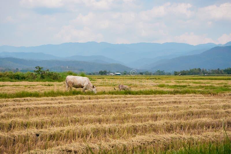 Vache mangeant la paille d'herbe ou de riz dans le domaine de riz avec le fond de ciel nuageux et de montagne , l'espace de copie photographie stock libre de droits