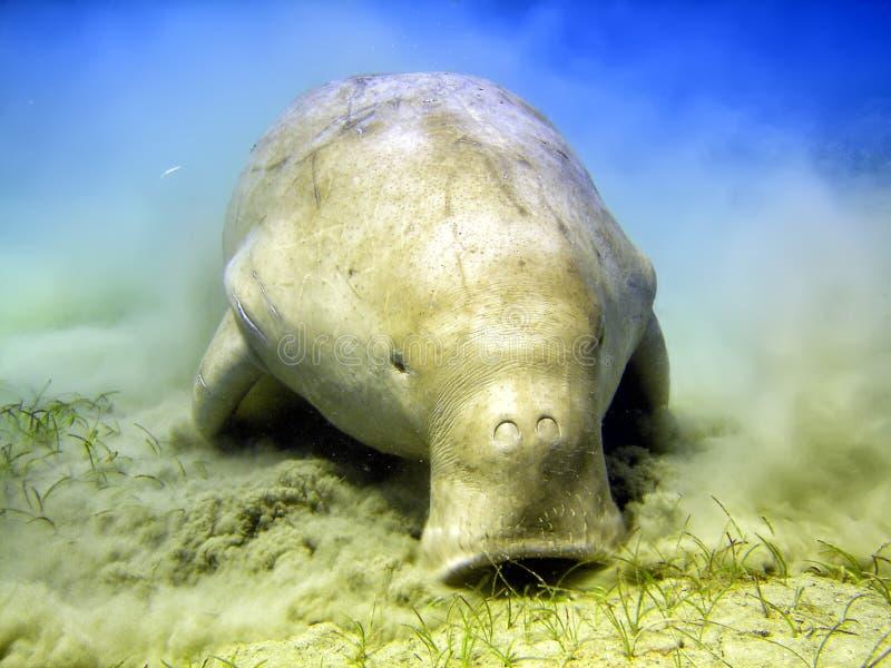 Vache marine de Dugongo tout en creusant le sable pour la nourriture photographie stock libre de droits
