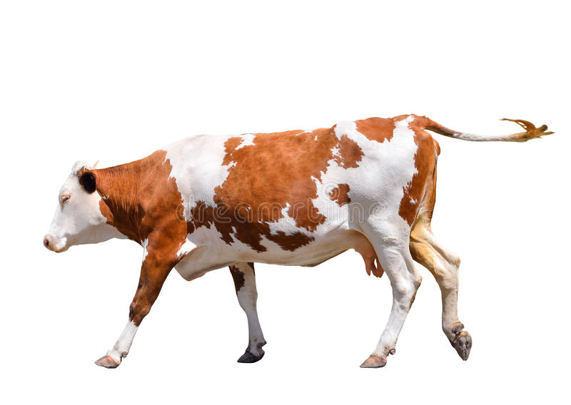 Vache mignonne drôle d'isolement sur le blanc Vache rouge sautante Vache repérée drôle Animaux de ferme Vache, se tenant intégral photographie stock