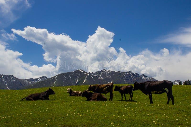 Vache, montagne, herbe, Wildflowers, photographie stock libre de droits