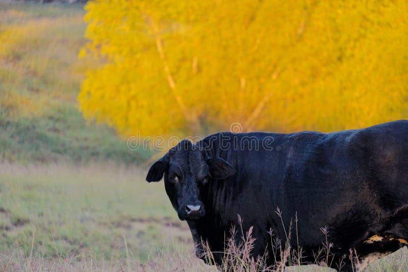 Vache noire dans le paysage de chute photographie stock