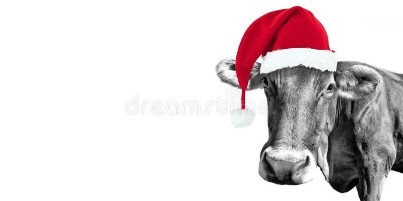 Vache noire et blanche à amusement sur le blanc avec un chapeau de Santa, carte de voeux de Noël photo stock