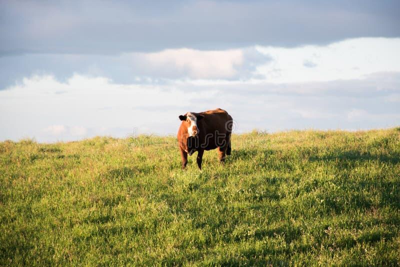 Vache par les fileds photos libres de droits