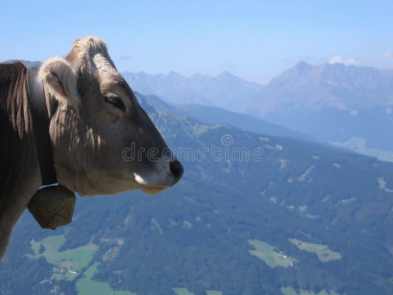 Vache | Paysage de montagne de l'Autriche image stock