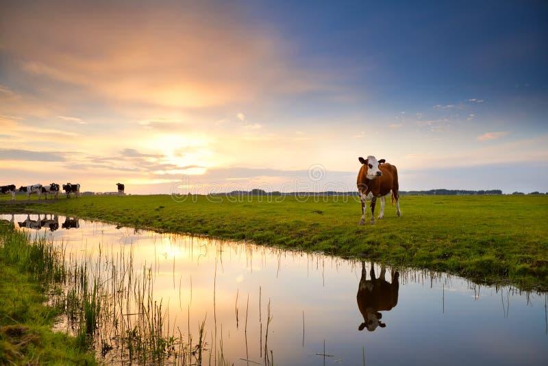 Vache reflétée en rivière au lever de soleil image stock