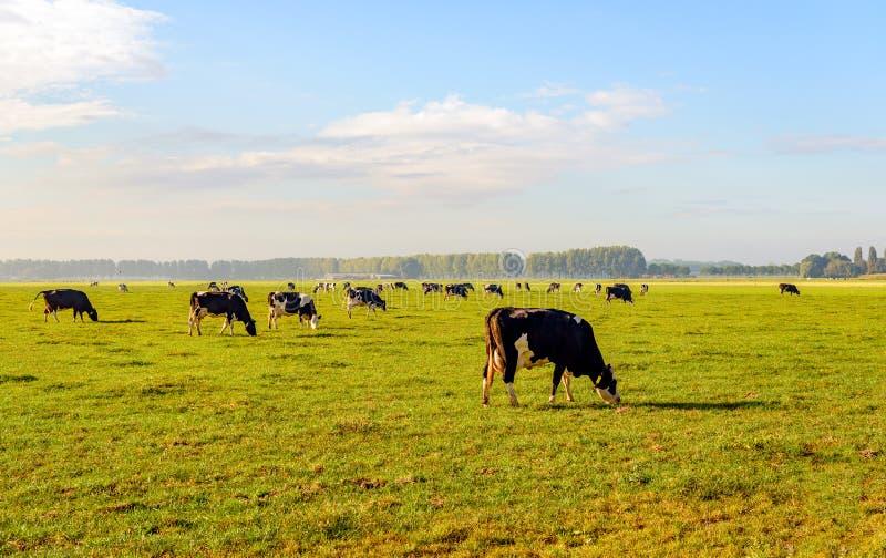 Vache repérée noire et blanche frôlant dans un grand pré image libre de droits