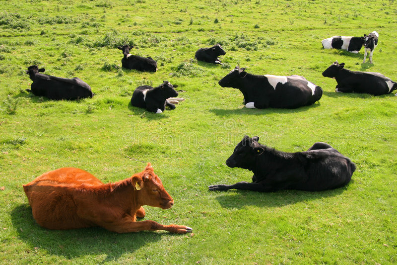 Vache rouge images libres de droits
