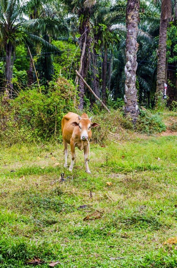 Vache rouge frôlant dans un village thaïlandais photo stock