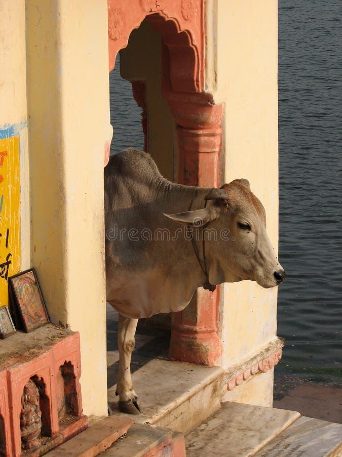 vache sacrée images libres de droits