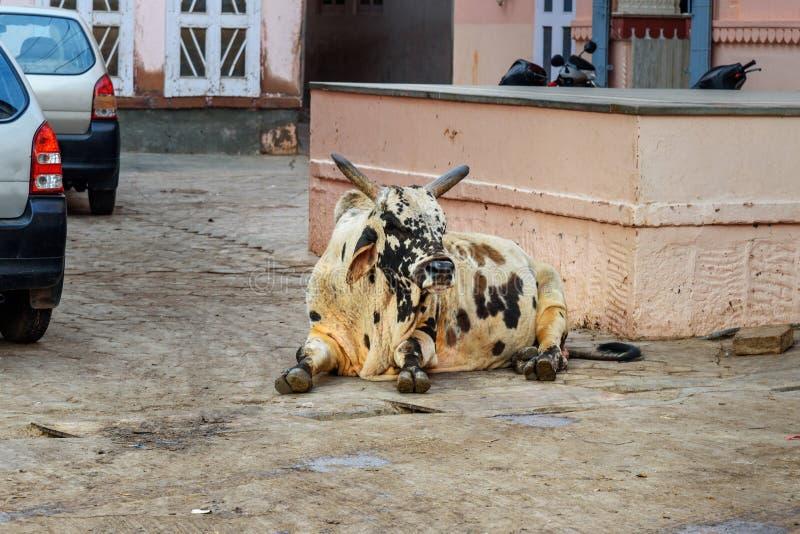 Vache sacrée sur la rue dans la vieille ville de Bikaner l'Inde image libre de droits