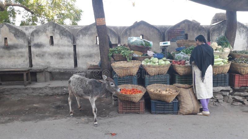 Vache sainte affamée photos libres de droits