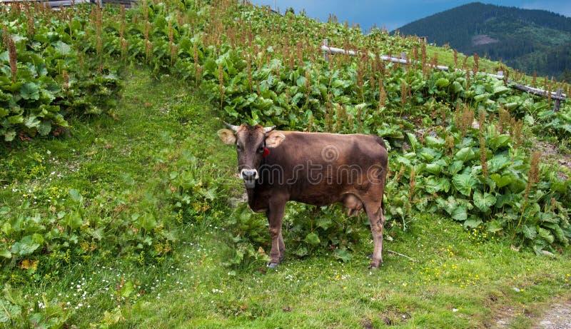 Vache sur l'herbe verte et le ciel bleu photographie stock