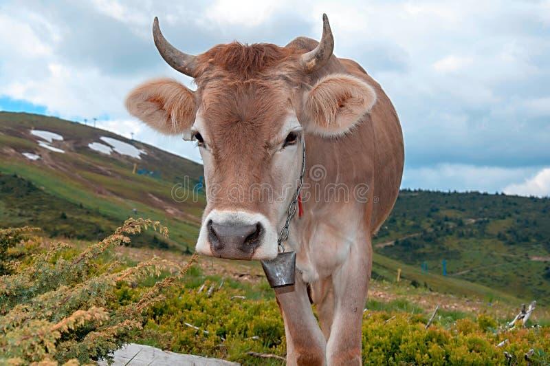 Vache sur l'herbe verte et le ciel bleu avec des nuages photo stock