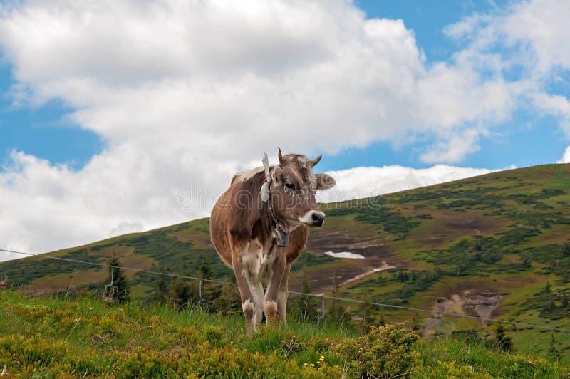 Vache sur l'herbe verte et le ciel bleu avec des nuages photo libre de droits