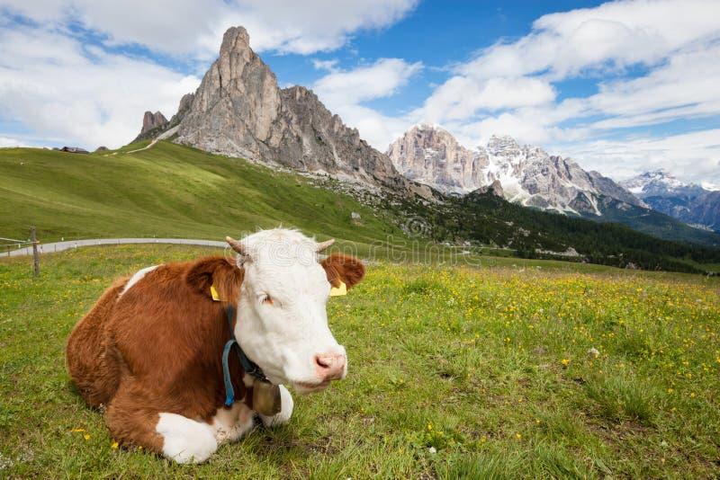Vache sur la colline alpine de montagne images stock