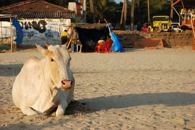 Vache sur la plage de Goa photos stock