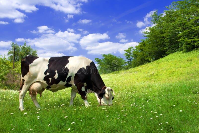 Vache sur le beau pré photos libres de droits