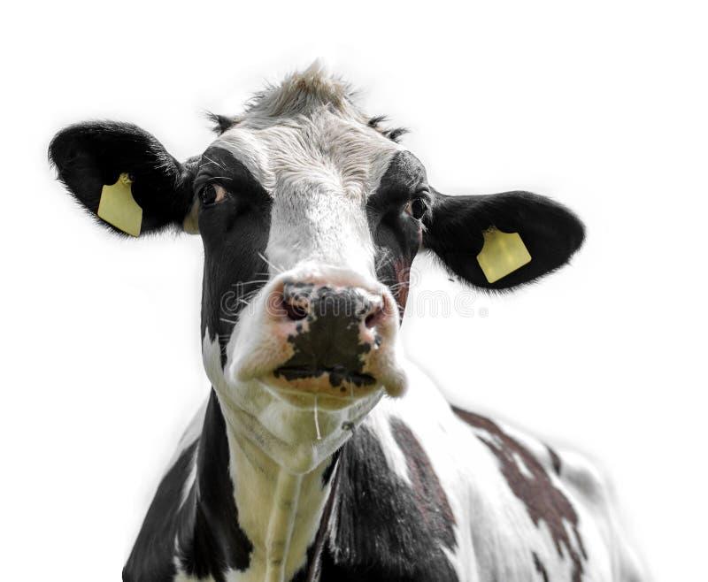 Vache sur le fond blanc image stock