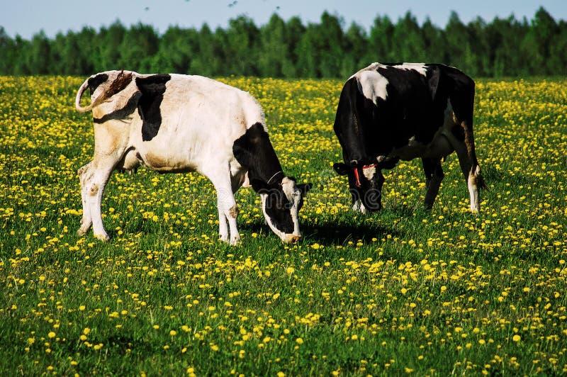 Vache sur le pré de fleur photos libres de droits