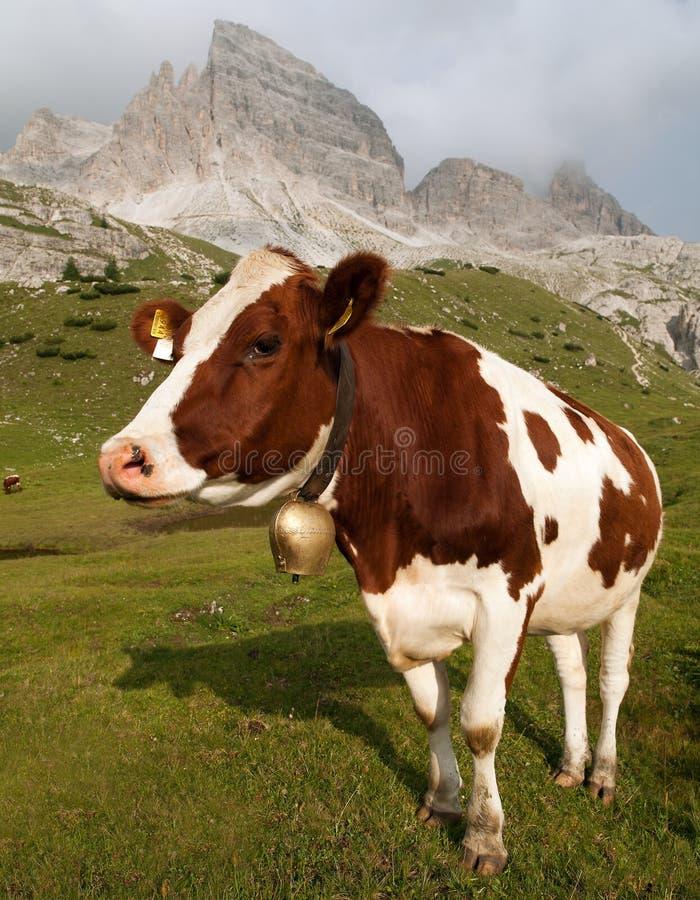 Vache (Taureau de primigenius de bos) sur Dolomities, Italie image stock