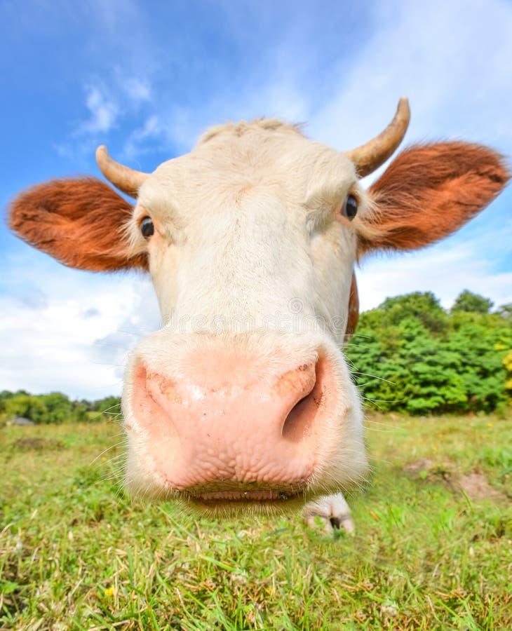 Vache très drôle avec le grand museau regardant fixement directement dans l'appareil-photo images libres de droits