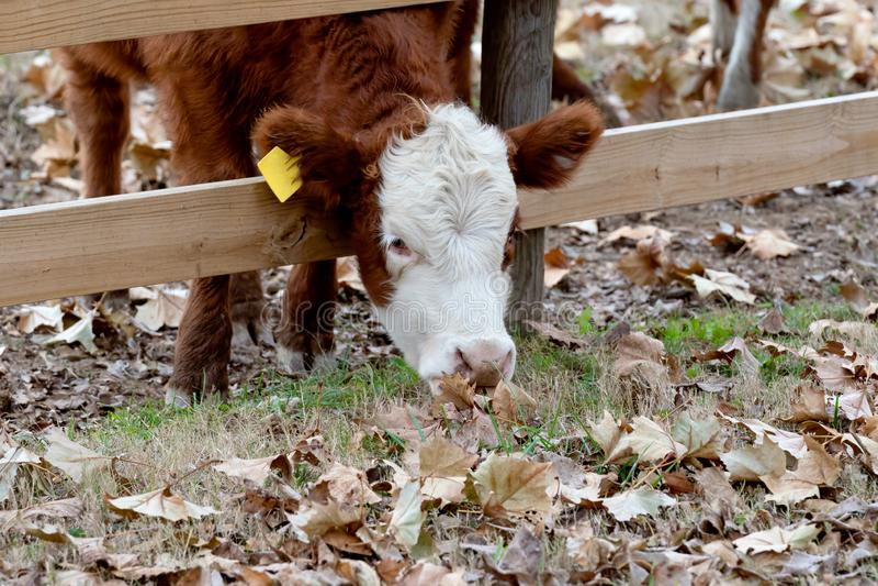 Vache/veau collant la tête par la barrière pour manger des feuilles de chute image libre de droits