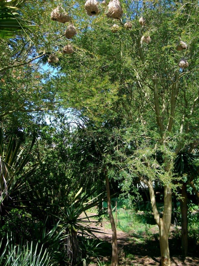 Vachellia xanthophloea金鸡纳树 免版税库存照片