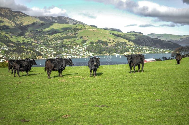 Vaches à Akaroa image libre de droits