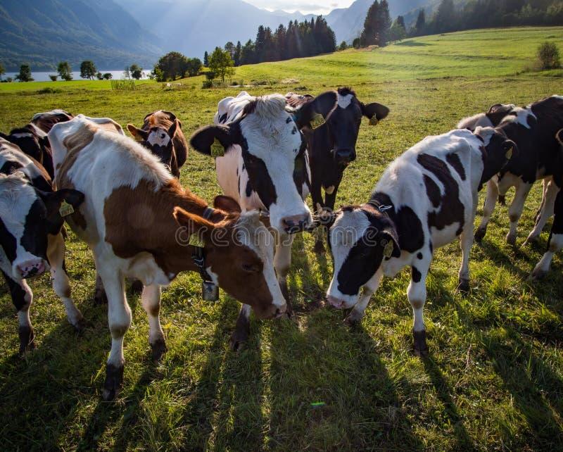 Vaches à Alpen photos libres de droits