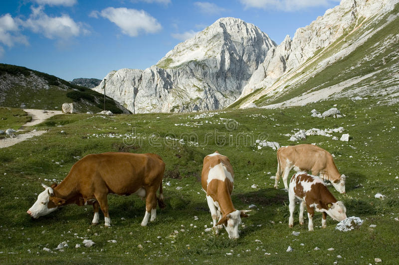 Vaches à Alpes photo libre de droits