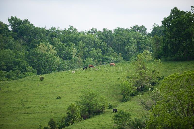 Vaches à flanc de coteau du Kentucky image libre de droits