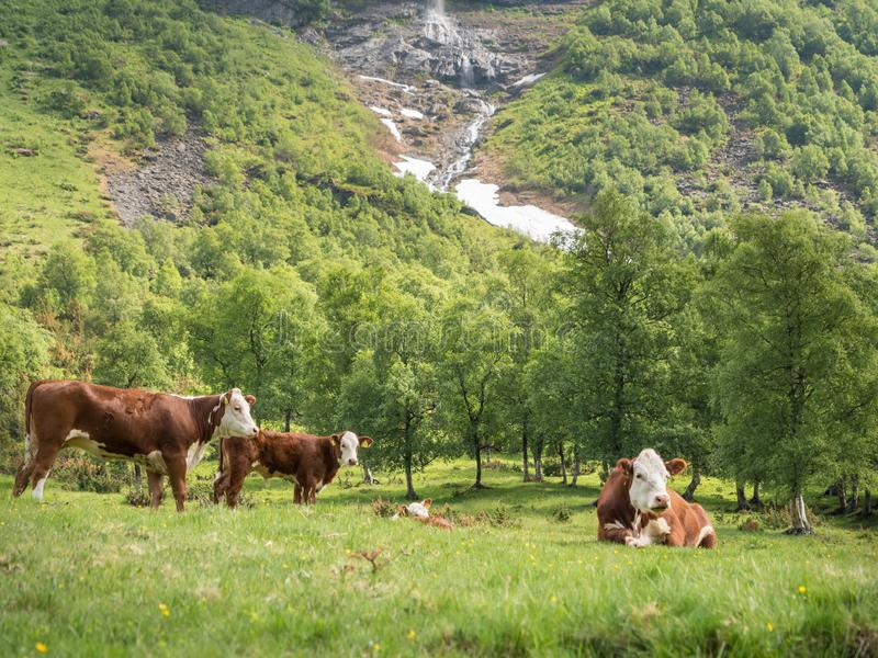 Vaches à Hereford au flanc de coteau de montagne en Norvège image libre de droits