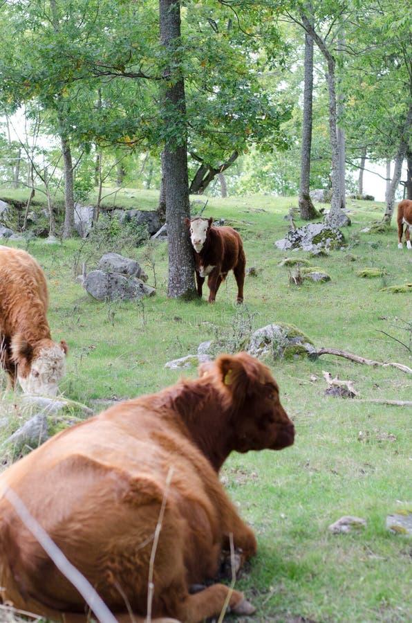 Vaches à Hereford sur une colline images stock